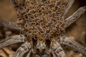 '공포스러운' 어미 거미의 모성애