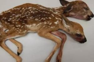 '머리 둘, 몸 하나' 흰꼬리사슴 쌍둥이 발견