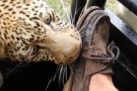 표범에게 다리 한 쪽 내준 겁없는 관광객