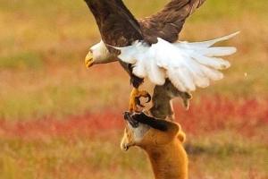 토끼 두고 공중전 벌인 여우와 독수리