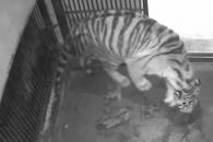 [영상] 서울대공원, 순수혈통 백두산 호랑이 4마리 탄…