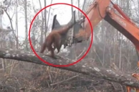 숲 파괴하는 인간에 대항하는 오랑우탄 포착