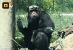 금연 시작한 침팬지에 담배…