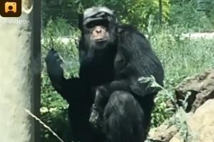 금연 시작한 침팬지에 담배 던져준 관광객들…中 공분