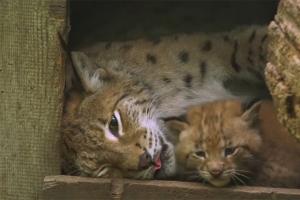 오스트리아서 멸종위기 붉은 스라소니 새끼 발견