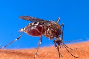 춘천서 희귀 열대감염병 치쿤구니야열 의심 환자 발생