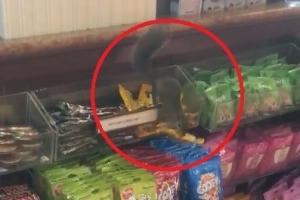 도토리 줍기 지친 다람쥐…가게서 땅콩초코볼 절도