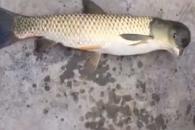 '돌고래 머리' 모양을 가진 돌연변이 물고기