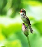 연꽃위 개개비의 노래
