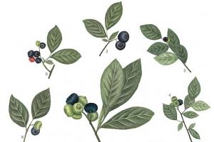 [이소영의 도시식물 탐색] 이토록 다양한 블루베리