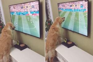 월드컵 축구경기 시청하는 골든 리트리버