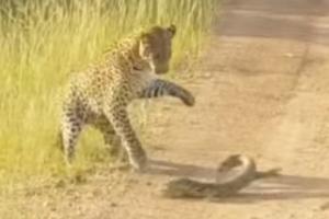 '사냥 참 어렵다' 도마뱀 꼬리 스윙에 새끼 표범의 움찔