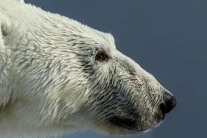 캐나다 30대 아빠 자녀 구하고 북극곰에 대신 희생