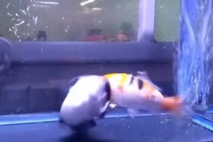 자신만큼 큰 물고기 집어삼키는 메기