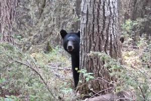 야생 흑곰 근접 촬영하다 죽을 뻔한 남성