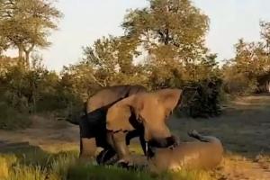 코끼리 몸 짓 한방에 나가떨어지는 코뿔소
