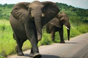 """다이아 회사 드비어스 """"남아공 코끼리 200마리 모잠비크로 옮긴다"""""""