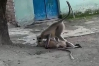 감전사 당한 동료 심폐소생술 시도하는 원숭이