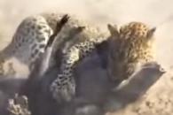 관광객 앞에서 멧돼지 사냥하는 표범