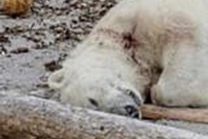 처참히 스러진 북극곰, 인간의 호기심이 부른 비극 아닌가