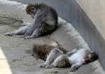 '꿀잠중' 일본 원숭이의…