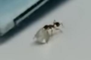 다이아몬드 훔쳐 달아나는 개미