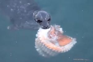 문어 사냥해 잡아먹는 바다표범