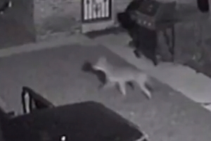 주택가서 고양이 사냥해 달아나는 코요테