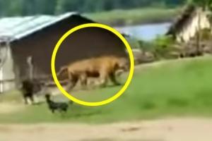 아이들 공격하려는 호랑이 쫓아내는 강아지들