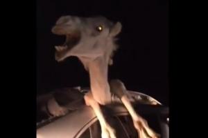 교통사고로 차량에 끼어버린 낙타…4시간 만에 구조