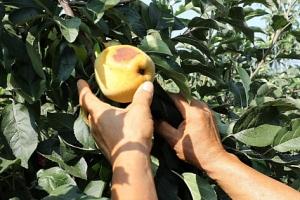 추석 차례상에 못쓰는 사과 주렁주렁…폭염·가뭄에 속타는 농민