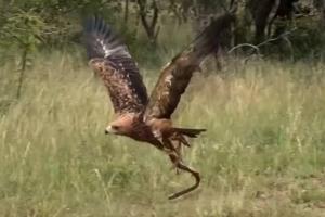 '먹는 놈이 임자' 뱀 훔쳐 날아간 독수리