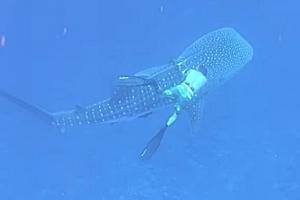 고래상어 몸에 엉킨 낚싯줄 풀어주는 다이버