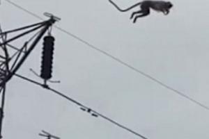 25m 고압 철탑서 점프하는 원숭이