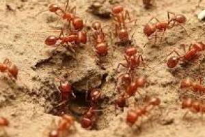 [달콤한 사이언스] 사공 많으면 배가 산으로 가는 까닭…개미는 알고 있었다