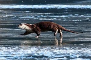 '먹이 찾아 나왔어요'… 꽁꽁 언 얼음 위를 걷는 수달