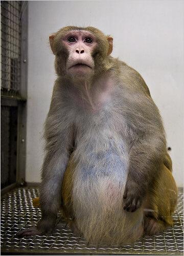 [서울신문] 뚱보 원숭이의 비애…일부러 살찌워 비만·당뇨 실험