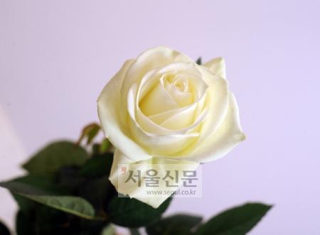 태양광에 따른 색변화 약품을 처리한 장미. 실내에서 햇빛이 나는 외부로 나오면 색이 변한다.(사진은 색이 변하기 전) 이호정기자 hojeong@seoul.co.kr