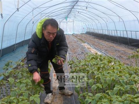 충남 금산군 추부면에서 깻잎을 기르는 전재만씨가 2중 하우스에서 깨 꽃대를 자르면서 울상을 짓고 있다. 전씨의 뒤로는 깨를 이미 갈아엎은 깨밭이 맨흙을 드러내 황량해 보인다. 이천열 기자 sky@seoul.co.kr