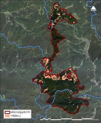 핑크색 부분이 태백산 국립공원에 있는 일본산 잎갈나무로 모두 벌목될 예정이다.