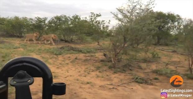 Kruger Sightings 유튜브 채널 캡처