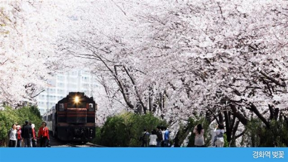 진해 경화역 벚꽃. 창원시 제공