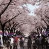"""'3말4초' 전국은 하얀 꽃대궐… """"우리 벚꽃축제 보러 오세요"""""""