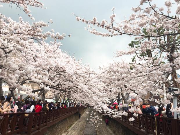 역시 벚꽃은 진해 지난 1일의 경남 진해 군항제의 흐드러진 벚꽃. 역시 벚꽃은 진해다. (꼭 기자의 고향이 진해라서 하는 소리는 아니다.) 독자 '치히뇽' 제공