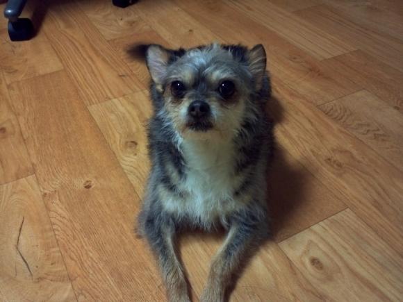 [노견일기] 13년간 함께한 작은 개 푸페를 추억하며