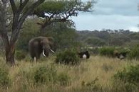 싸움하는 타조 말리는 거대 코끼리