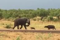 자신보다 몸집 큰 코끼리 내쫓는 새끼 버펄로