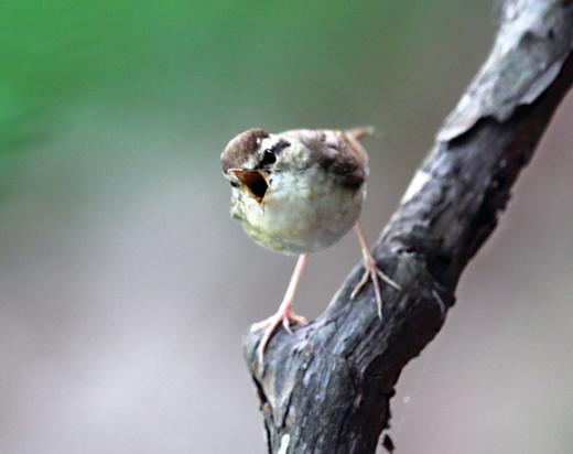 제일 작은 숲새