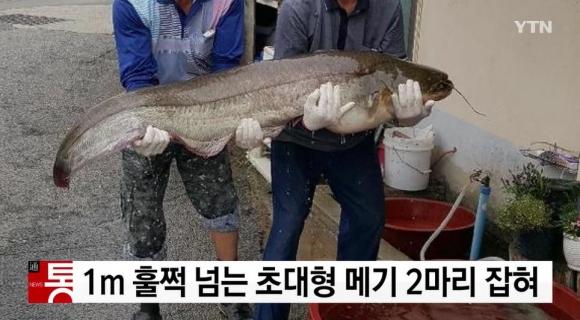 청주 메기 YTN 방송화면 캡처