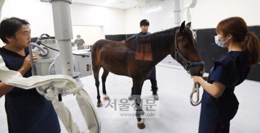 제주시 산천단 제주대 말전문동물병원에서 수의사들이 아픈 말의 상태를 확인하기 위해서 엑스레이 촬영을 하고 있다.